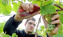 A student using clippers to remove grapes from a vine